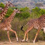 African Wild Giraffes