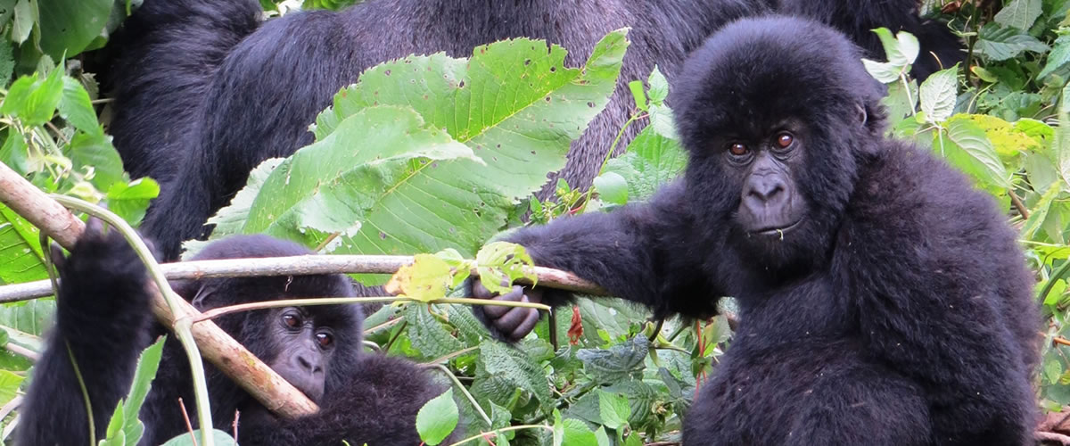 Mountain-Gorillas-in-Virunga
