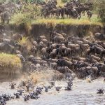Wilde Beest Migration in Masaai Mara National Reserve